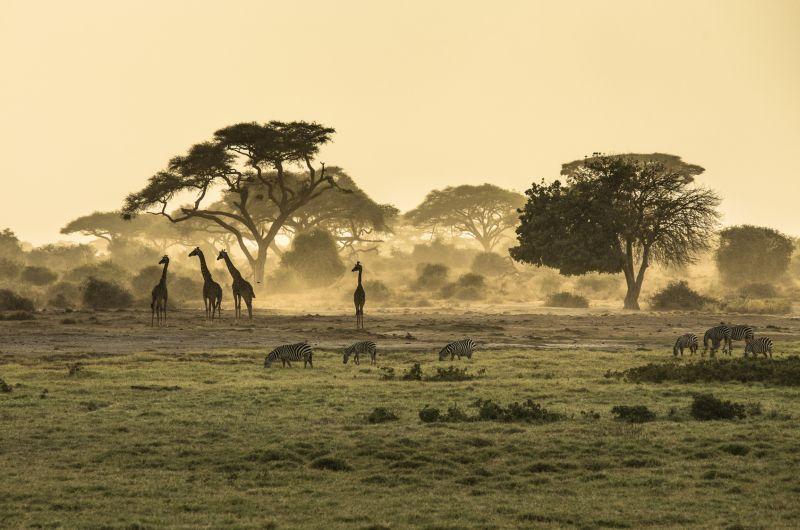 Silhouette di giraffe